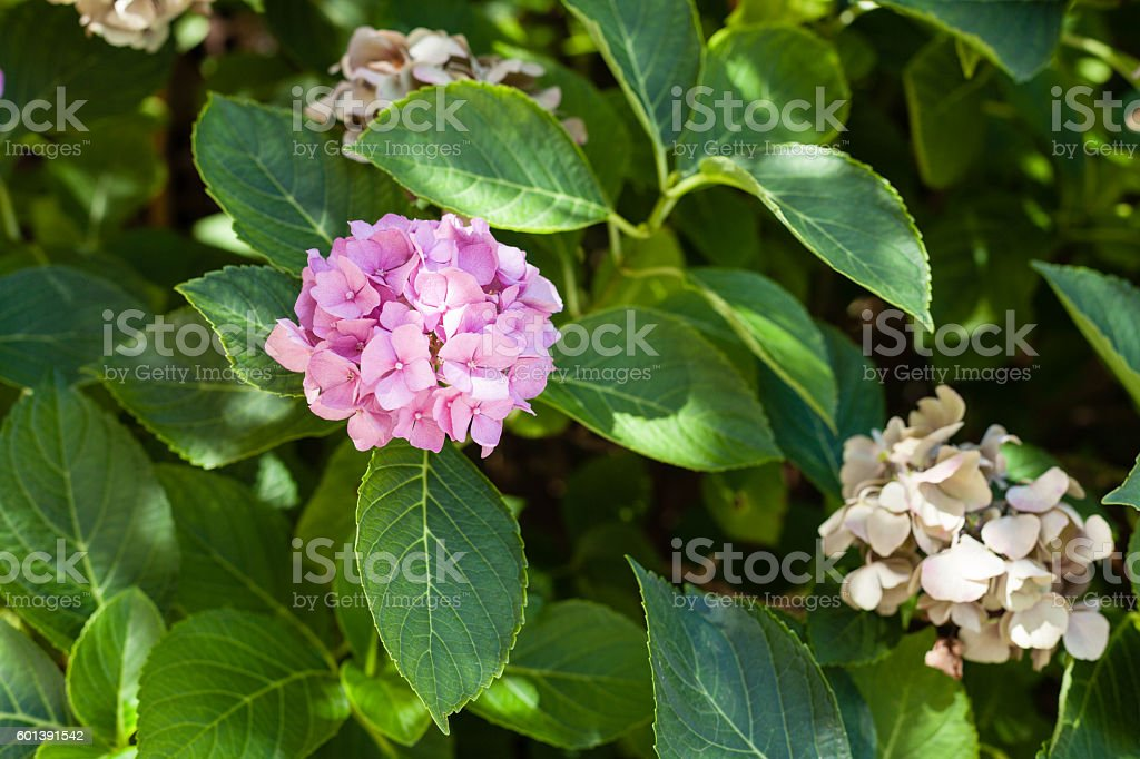 beautiful pink hydrangea flower in summer stock photo