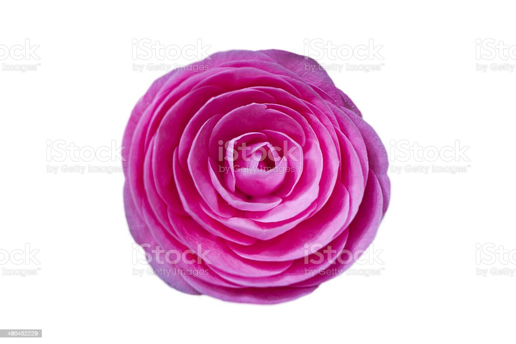 Beautiful Pink Japanese Camellia Flower stock photo