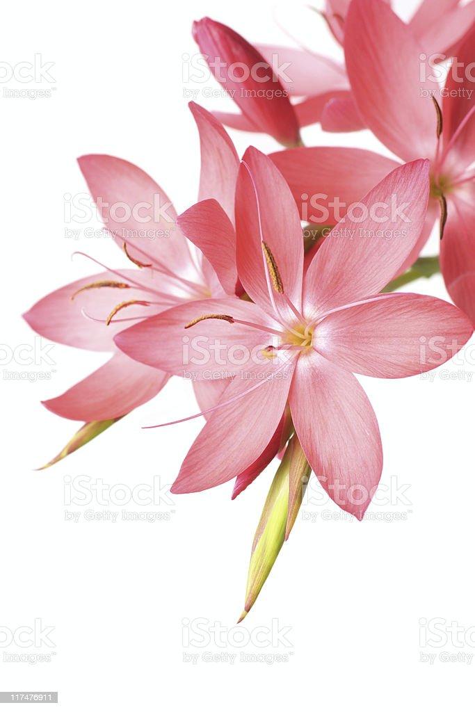 beautiful pink lily stock photo