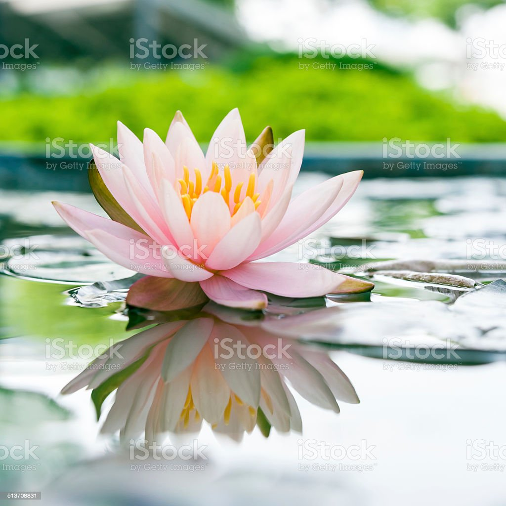 Beautiful pink lotus flower in pond stock photo