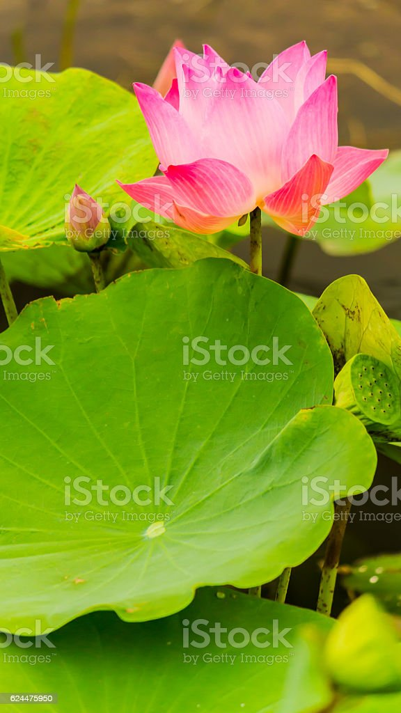 Beautiful pink lotus flower in pond. stock photo