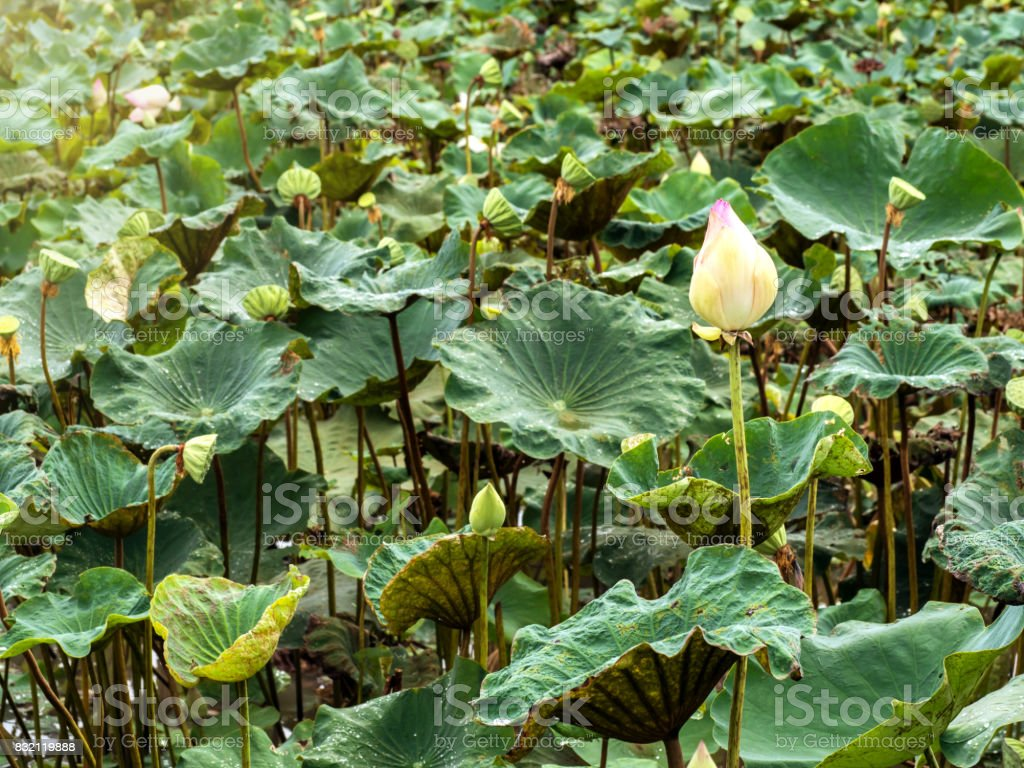 Beautiful pink lotus flower in pond. stock photo