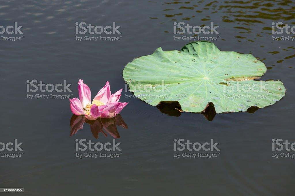 Beautiful pink Lotus flower on small lake, lat. Nelumbo lucifera stock photo