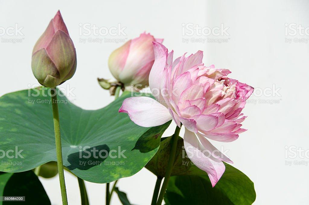 Beautiful pink lotus stock photo