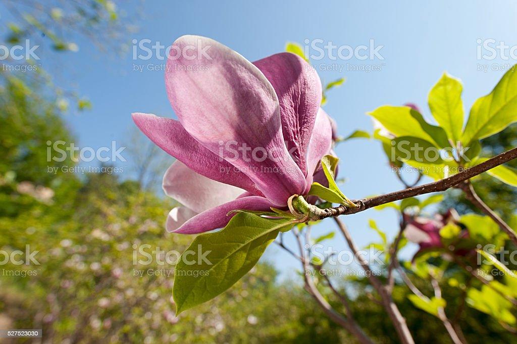 Schöne Rosa Magnolie Flower. Frühling Blumen Hintergrund Lizenzfreies stock-foto