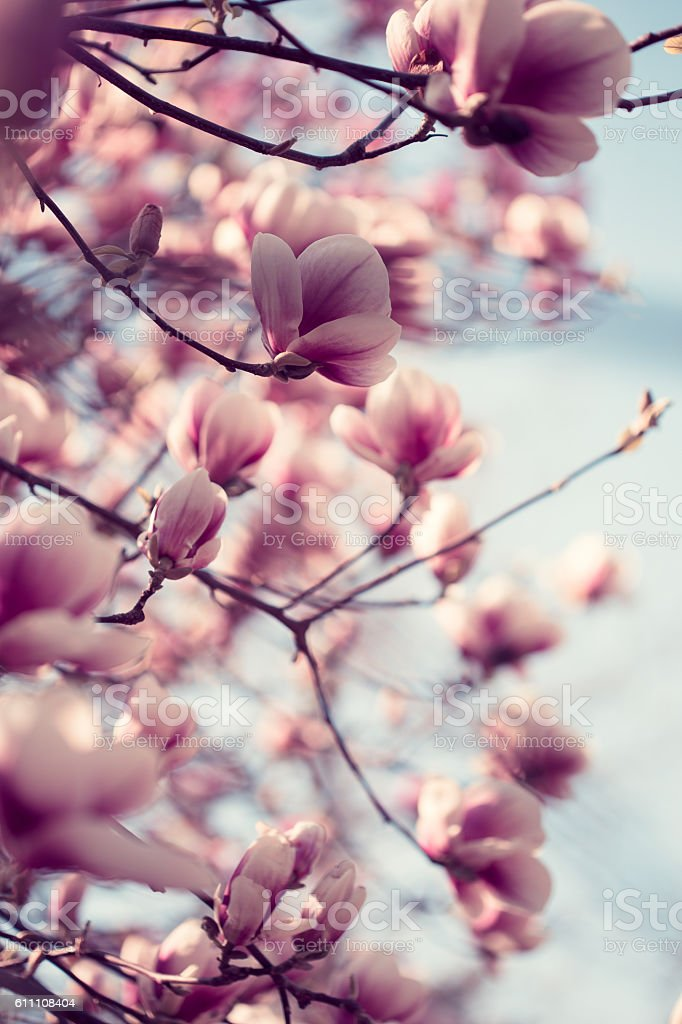 Beautiful pink magnolia flowers stock photo