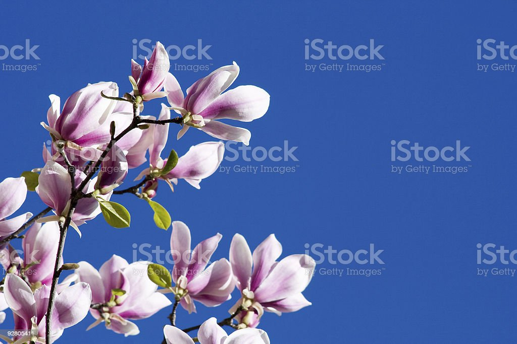 Beautiful Pink Magnolia Flowers royalty-free stock photo