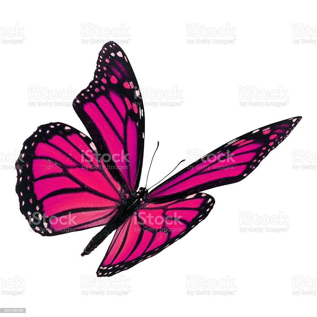 Beautiful pink monarch butterfly stock photo