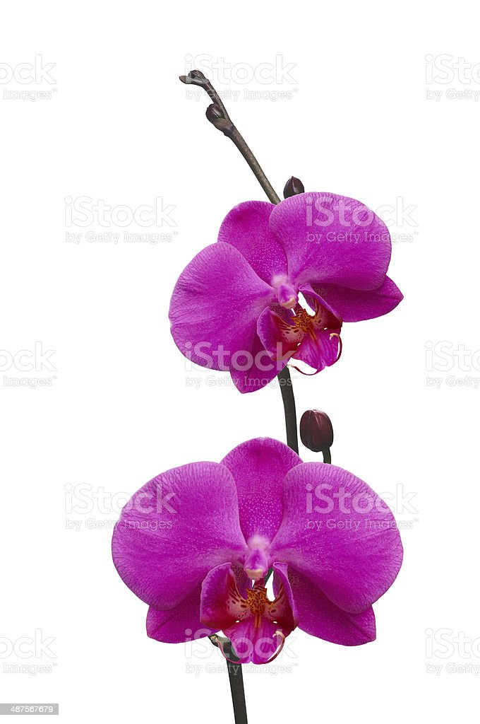 Beautiful pink orchid isolated on white royalty-free stock photo