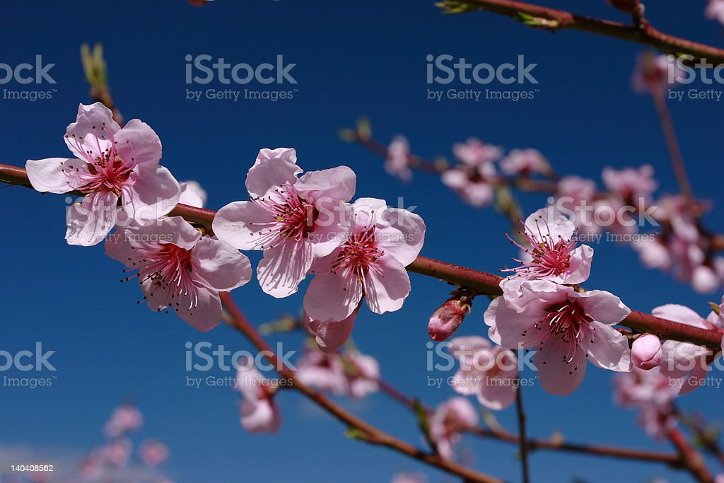 Beautiful pink peach blossoms royalty-free stock photo