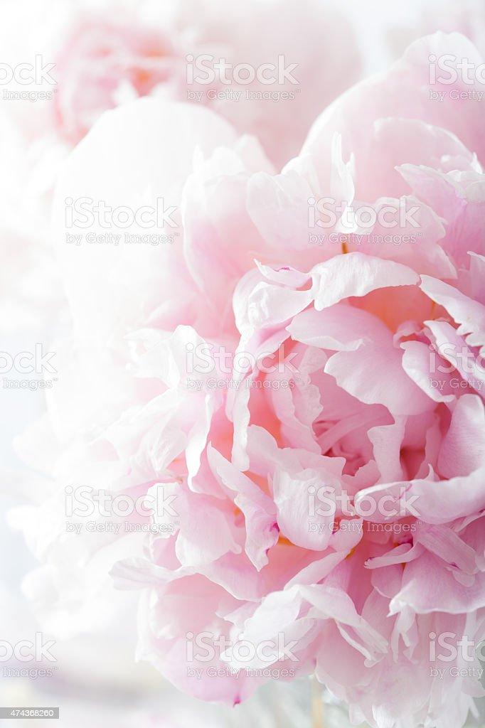 beautiful pink peony flower background stock photo