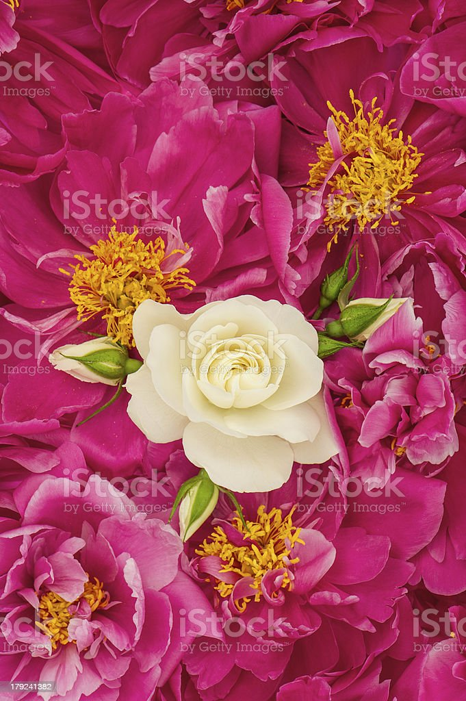 beautiful pink peony flowers with white single rose royalty-free stock photo