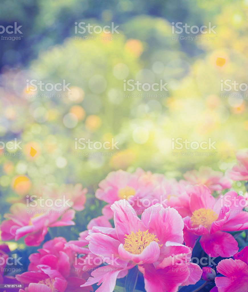 Beautiful pink peony on flowers garden background, close up, toned stock photo