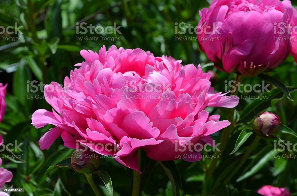 Beautiful Pink Peony stock photo