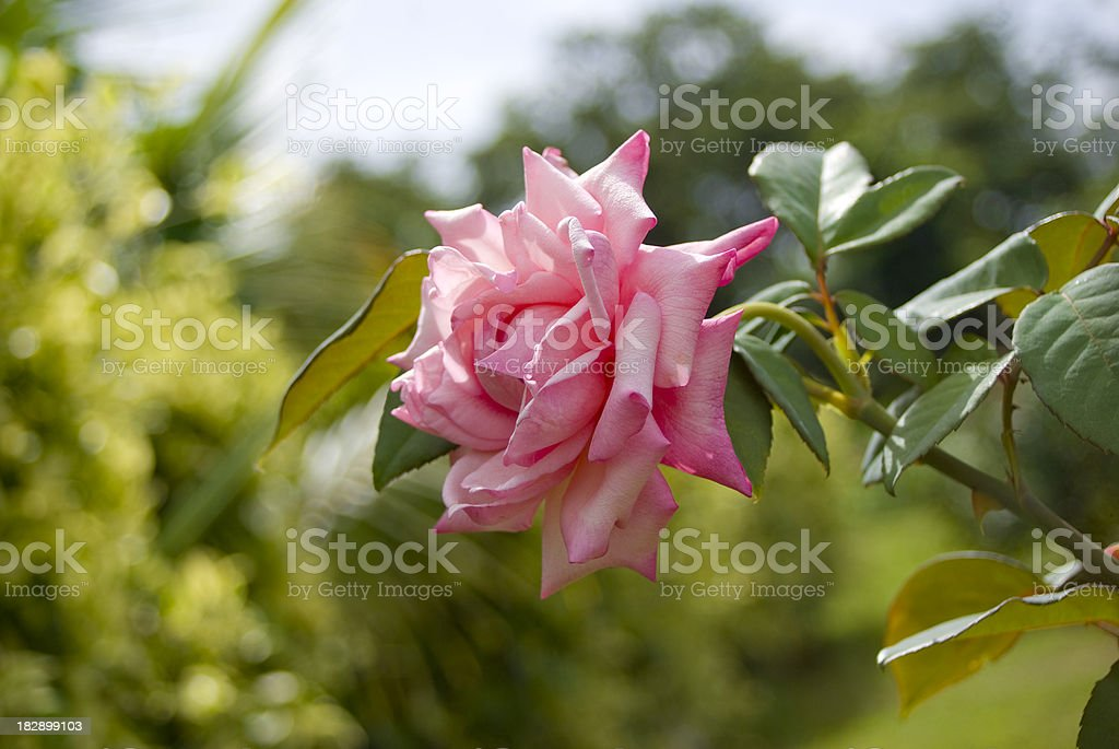 beautiful pink rose bloom outdoors stock photo