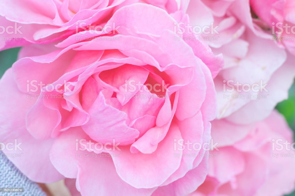 Beautiful  pink rose  blooming in the garden at sunny summer or spring day,Nagano,Japan stock photo