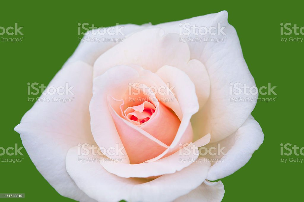 Beautiful pink rose isolated royalty-free stock photo
