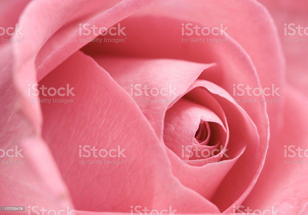 beautiful pink rose macro royalty-free stock photo