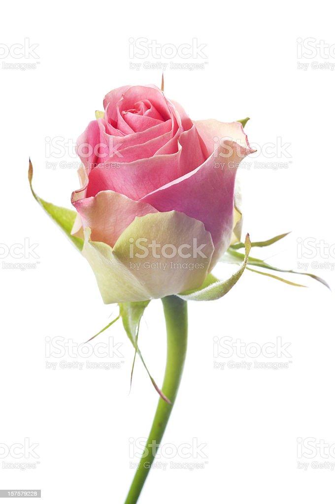 Beautiful pink rose on white stock photo
