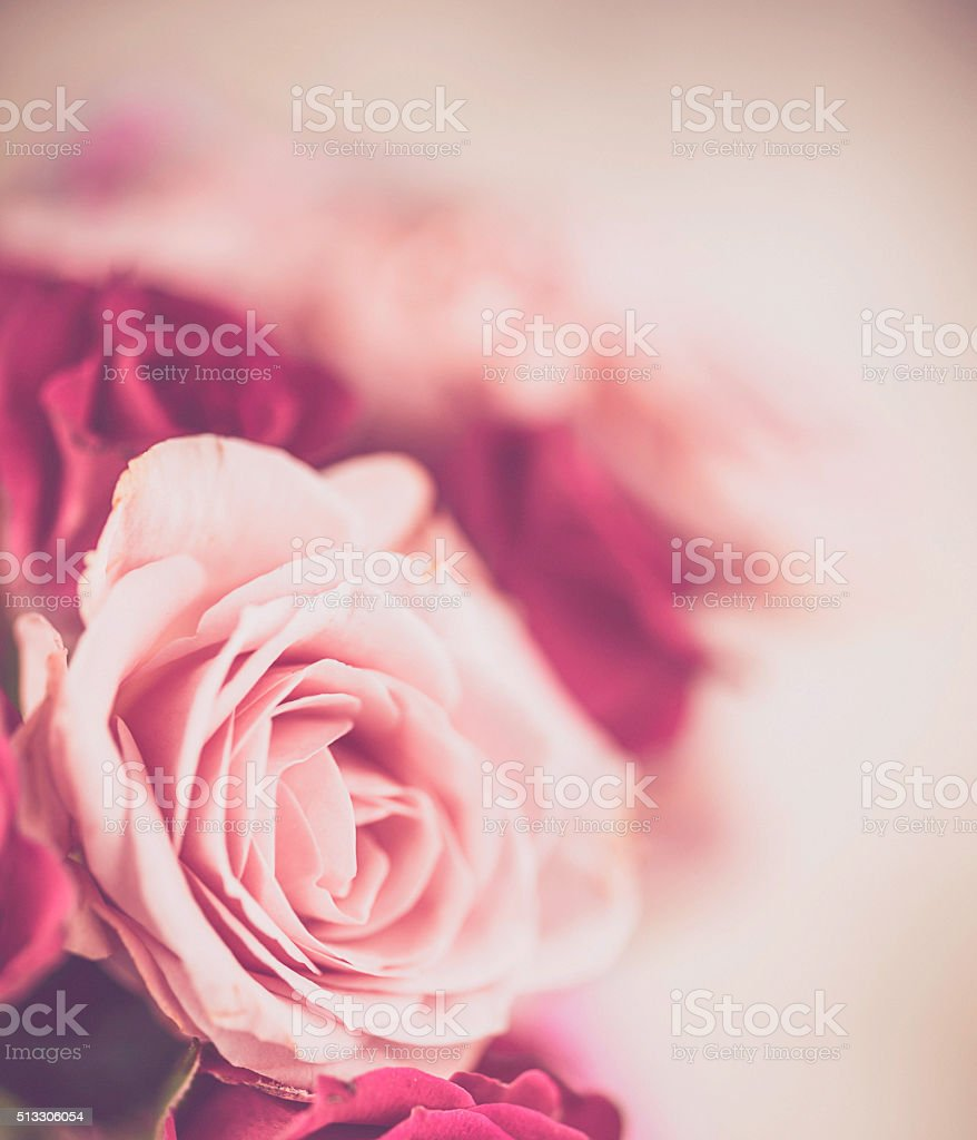 Beautiful pink roses background stock photo
