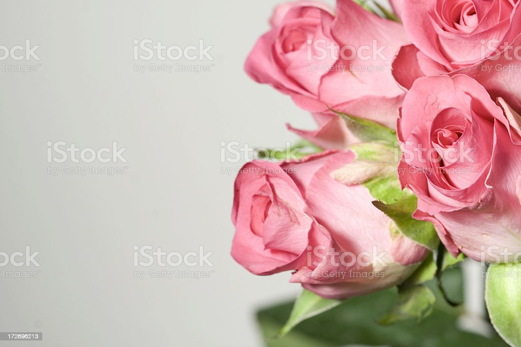 beautiful pink roses royalty-free stock photo