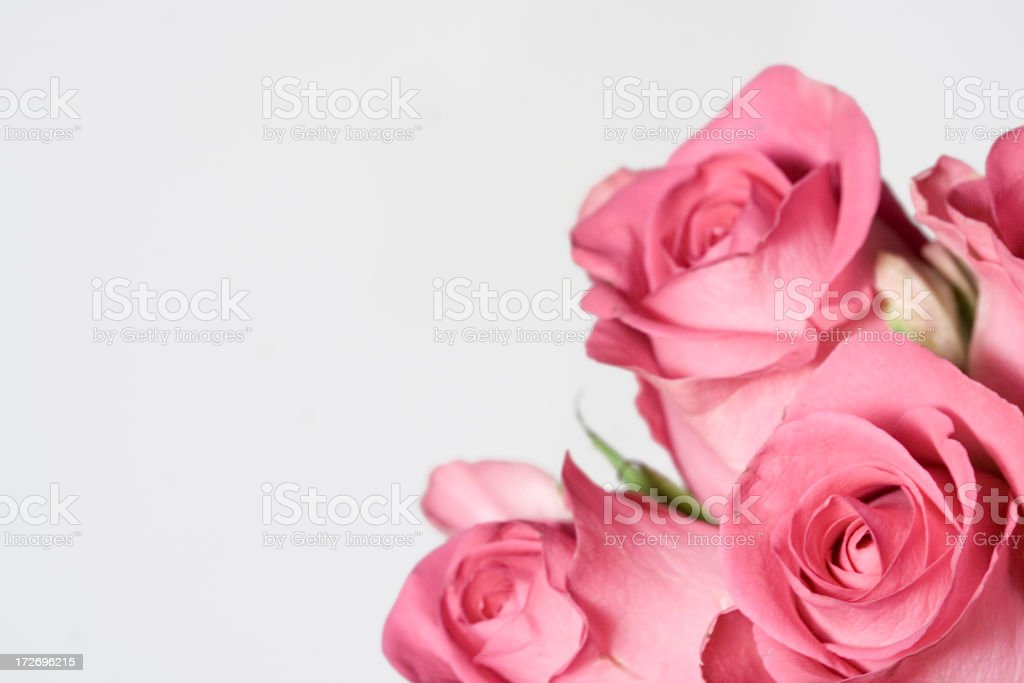 beautiful pink roses royalty-free stock photo