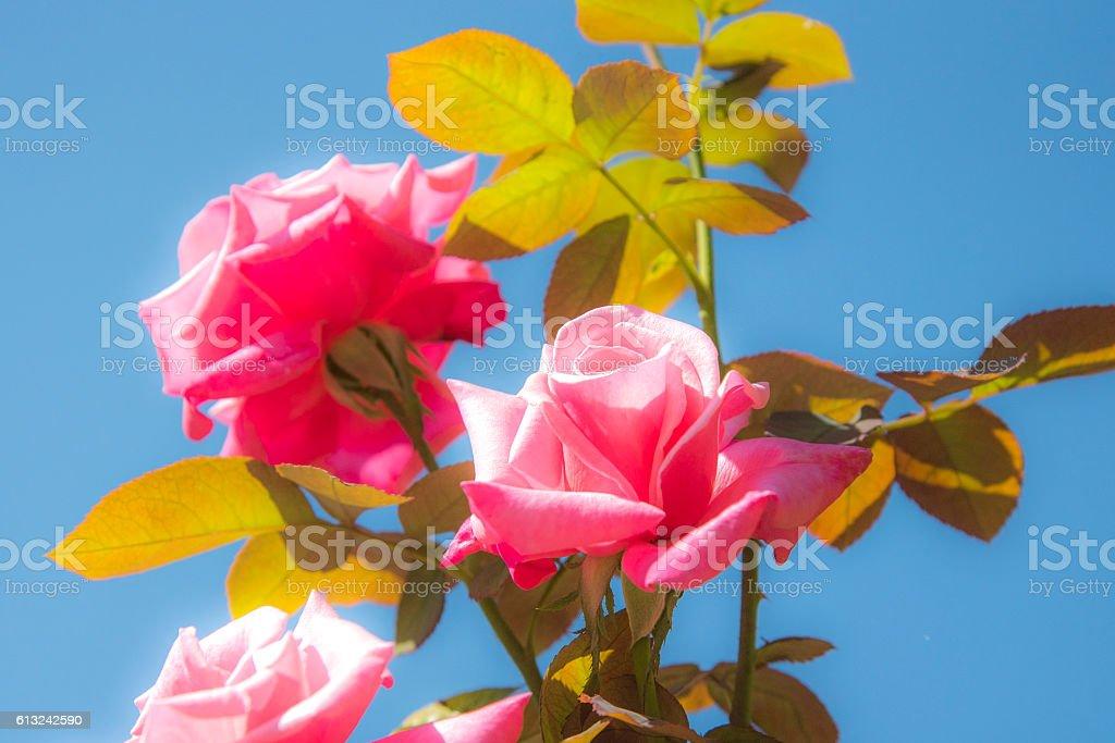 Belles roses rose photo libre de droits