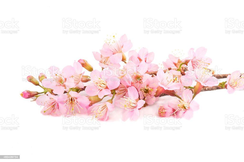 Beautiful Pink Sakura flowers isolated stock photo