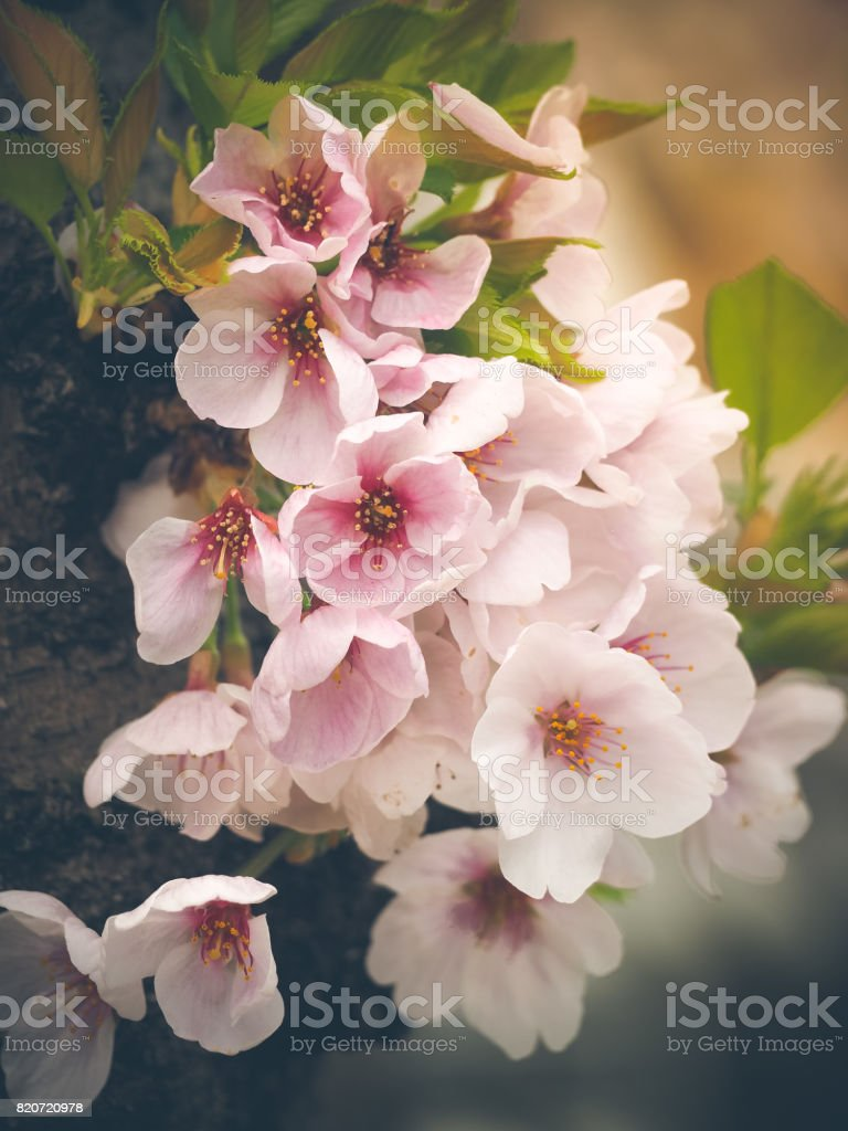 Beautiful pink Sakura stock photo