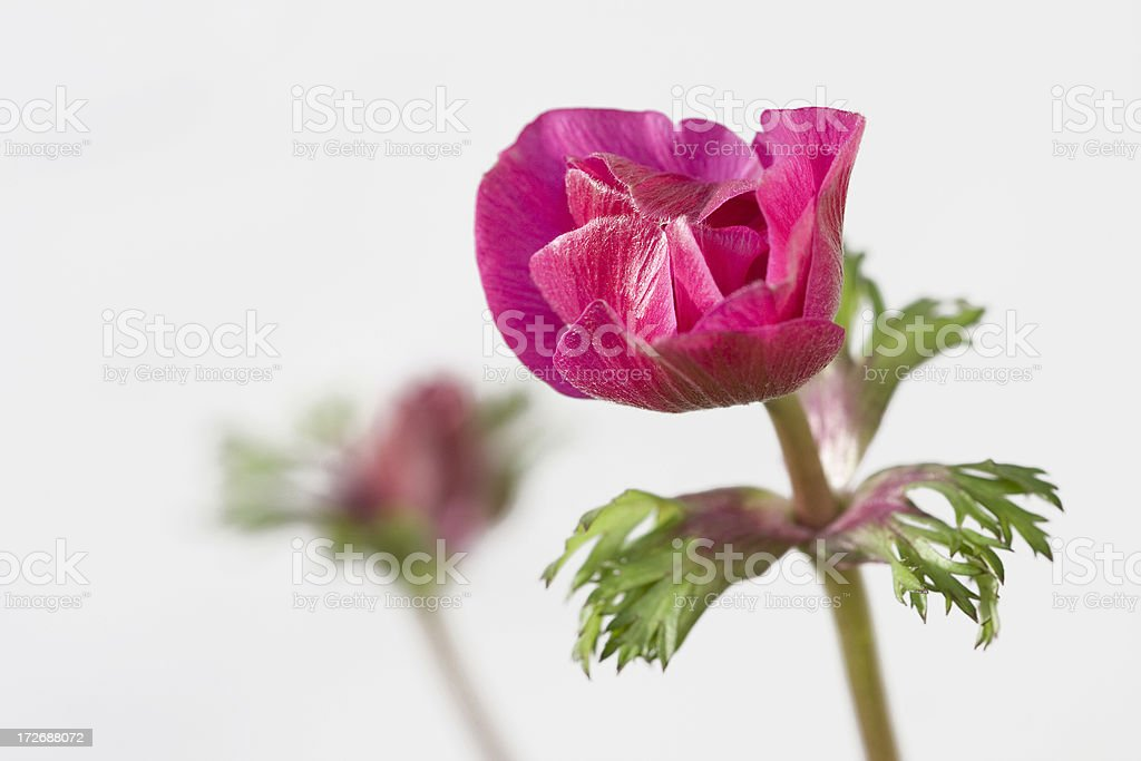beautiful pink spring flowers royalty-free stock photo