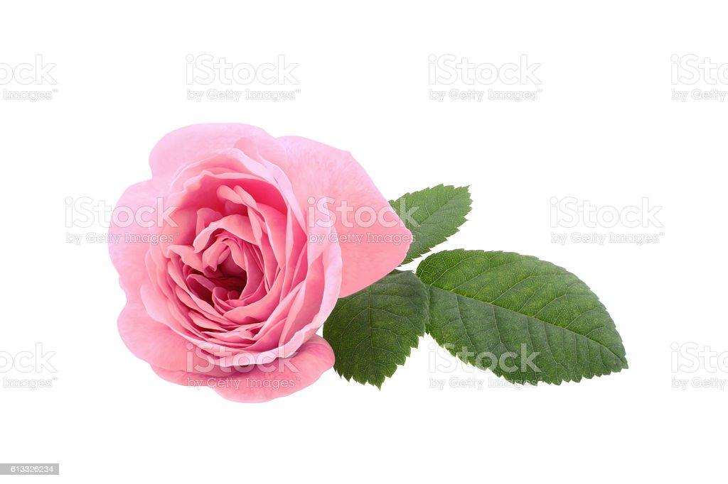 Beautiful pink tea rose isolated on white background stock photo