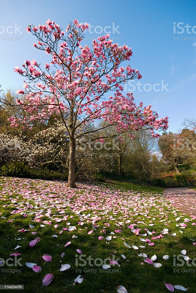 A beautiful pink tree blossoming in spring royalty-free stock photo