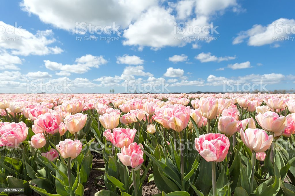 beautiful pink tulip field in sunny day stock photo
