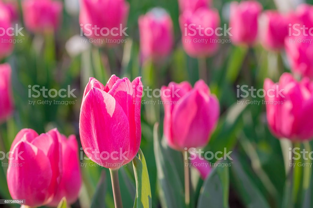 Beautiful pink tulips in flowers garden. stock photo