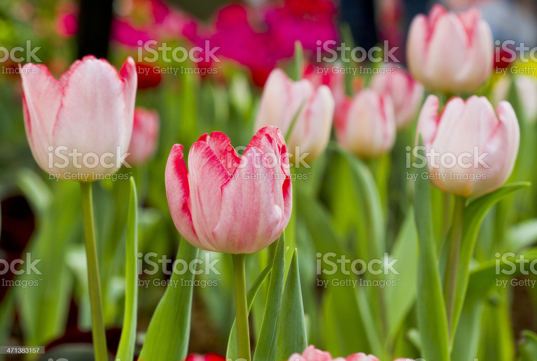 Beautiful pink tulips in the garden royalty-free stock photo
