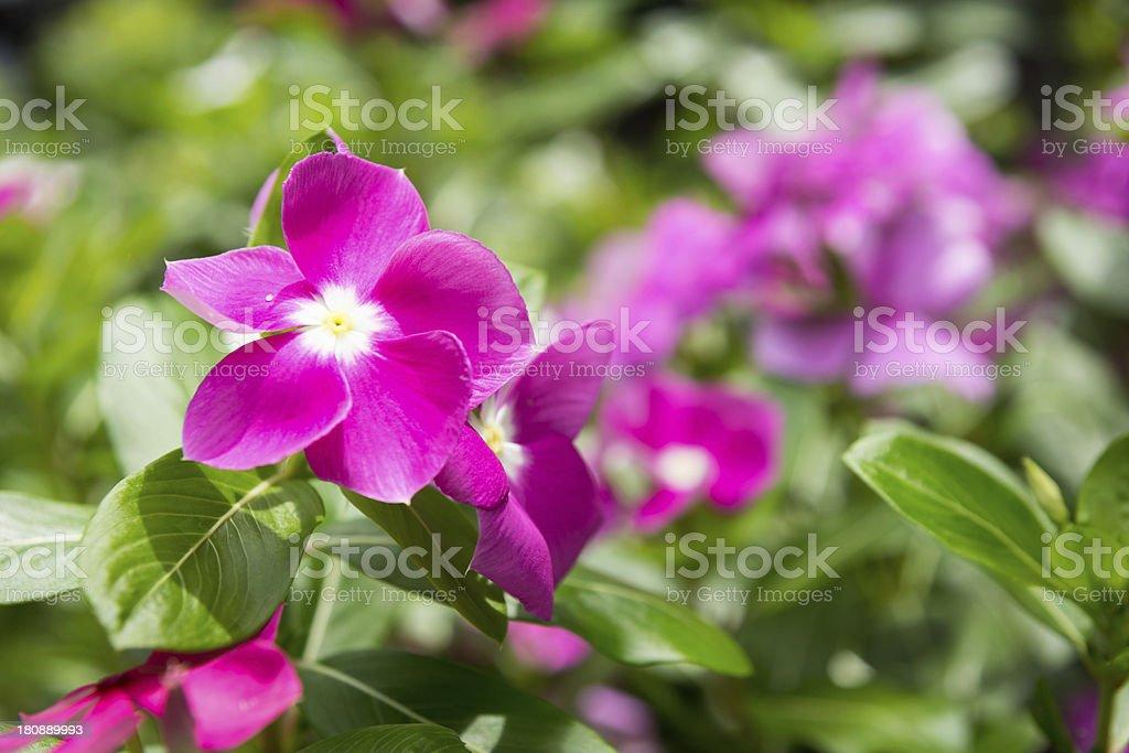beautiful pink vinca flowers madagascar periwinkle royalty-free stock photo