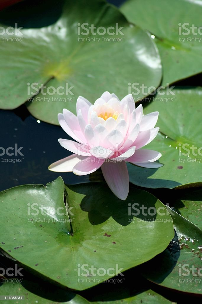Beautiful Pink Water Lilly floating on a summer day. stock photo