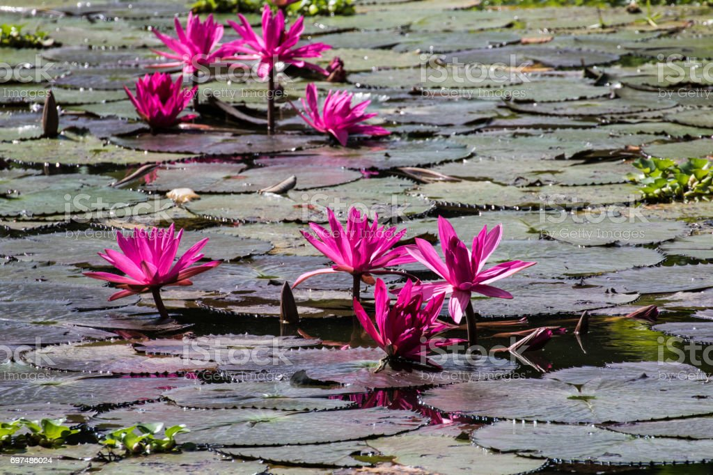 beautiful pink waterlily or lotus flower in pond stock photo