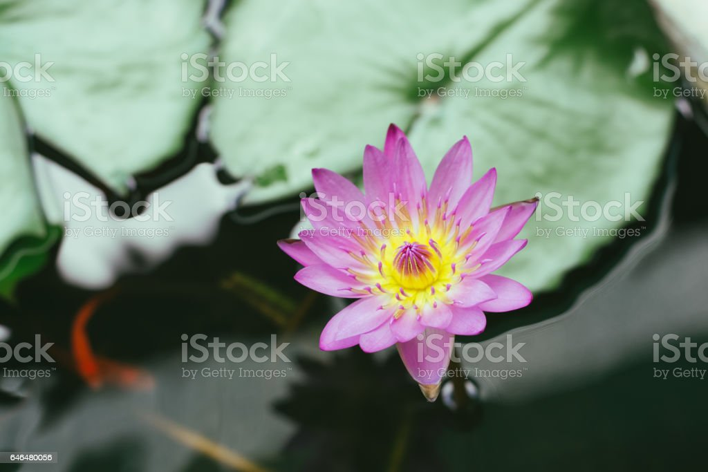 beautiful pink waterlily or lotus flower stock photo