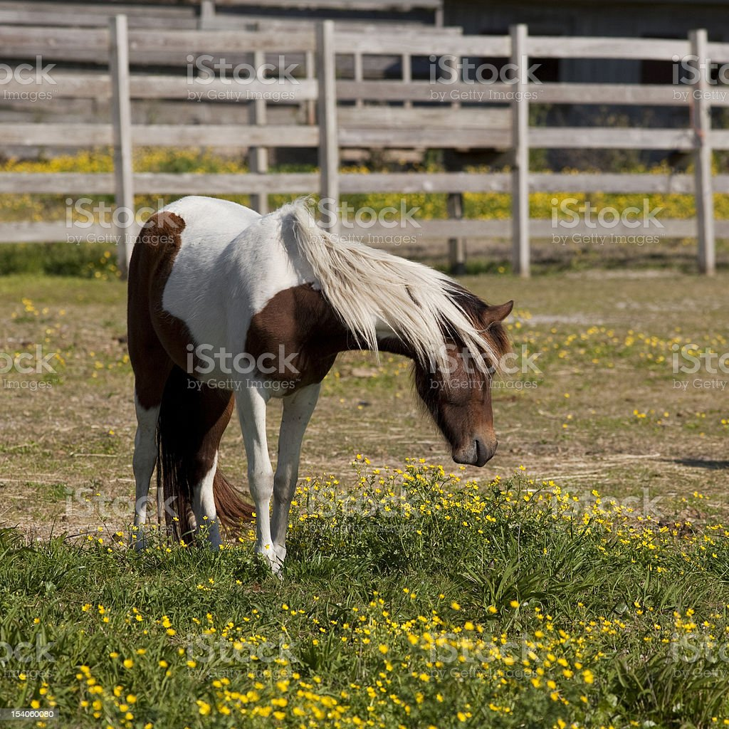 Beautiful pinto pony stock photo