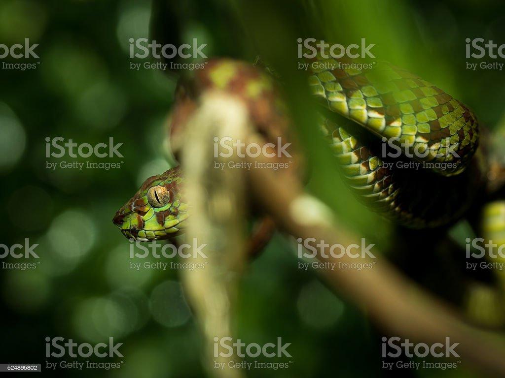 Beautiful Pitviper snake stock photo