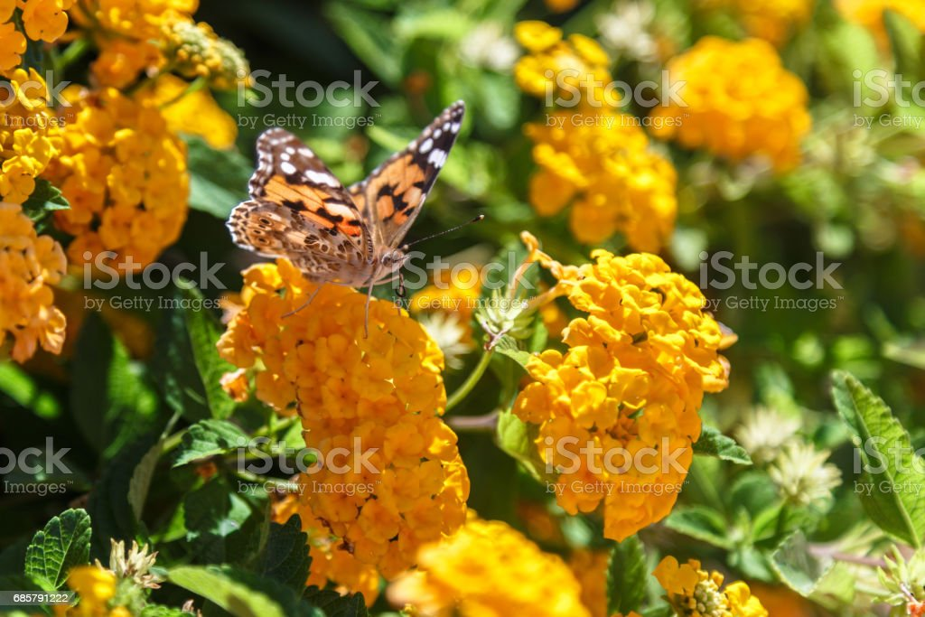Beautiful Plain Tiger butterfly perching on yellow flower stock photo