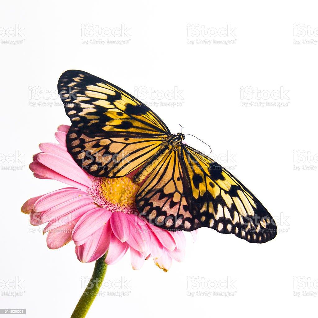 Beautiful Plain Tiger butterfly perching stock photo