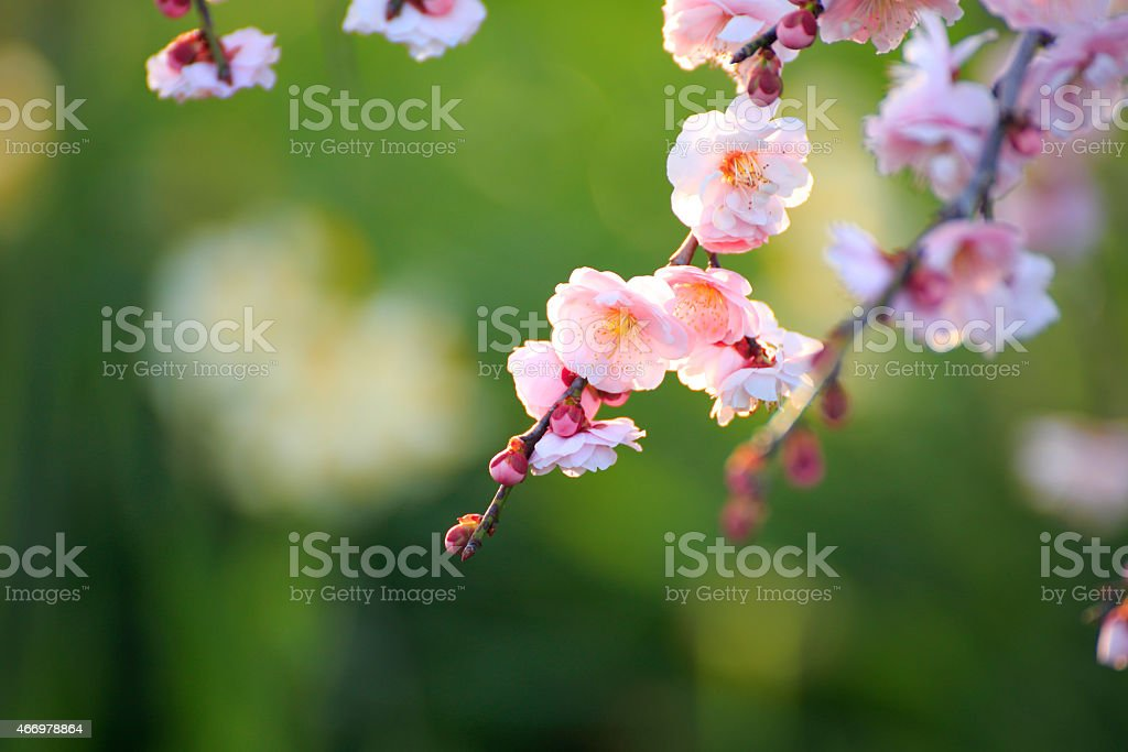 Beautiful plum flowers stock photo