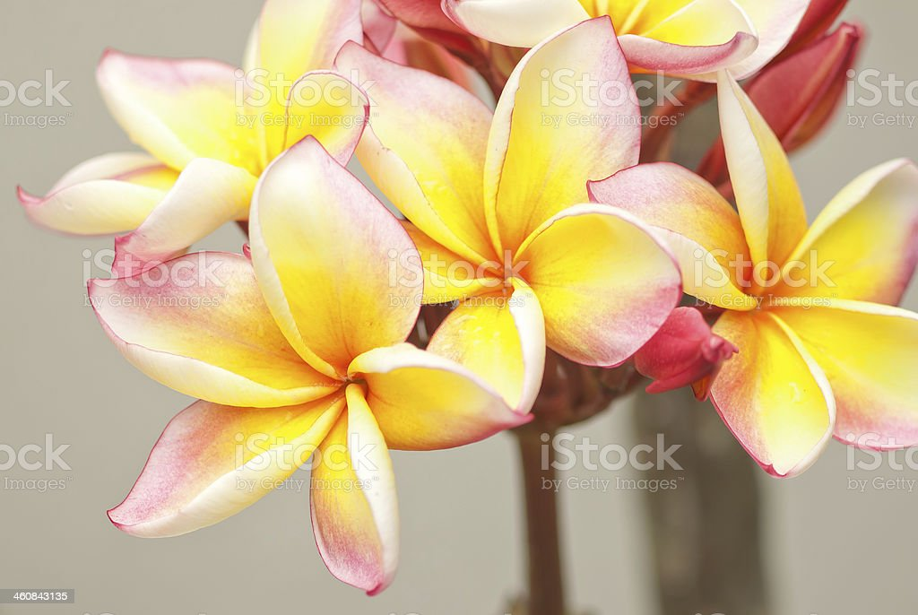 Beautiful plumeria royalty-free stock photo