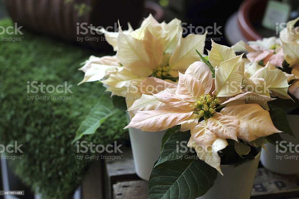 beautiful poinsettia. red christmas flower on white background stock photo