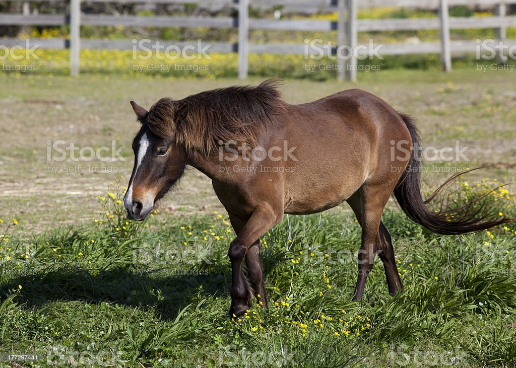 Beautiful pony trotting stock photo
