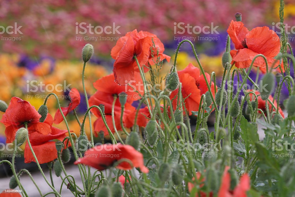 Beautiful Poppies royalty-free stock photo