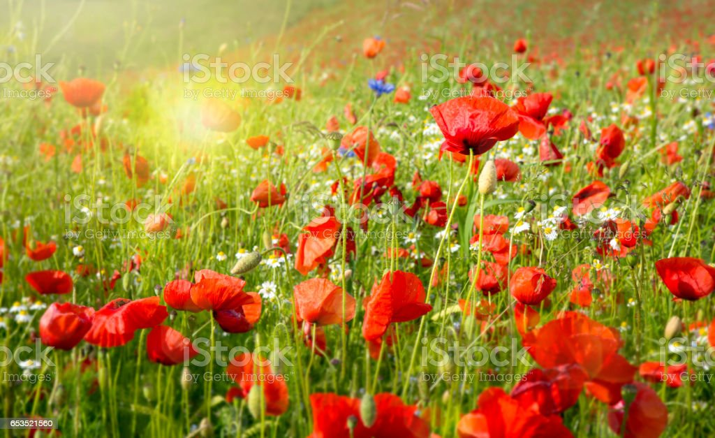 Beautiful poppy and daisies field stock photo