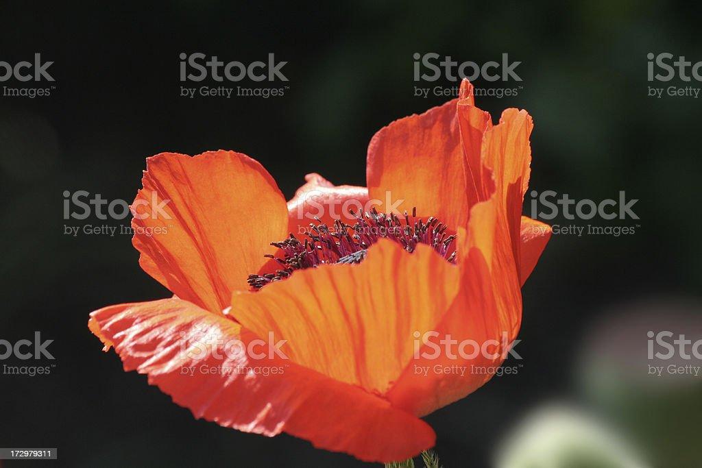 Beautiful poppy blossom. royalty-free stock photo